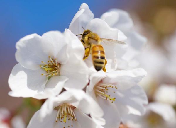 la memoria olfativa de las abejas puede manipularse, para dirigirlas a polinizar un determinado cultivo, mejorando notablemente sus rindes.