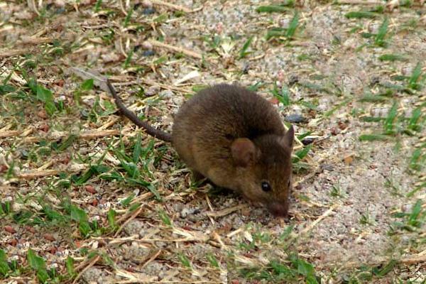 Un resultado que sorprendió al grupo de investigación fue el descubrimiento de que el área de acción de este ratón abarca casi dos hectáreas. Foto: reservacostanera.com.ar