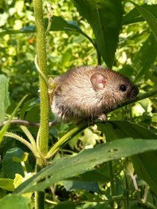 El trabajo permitió comprobar que esta especie de ratón pasa la mitad de su tiempo caminando por la altura. Foto: Matías Almeida (Guardaparque de APN).