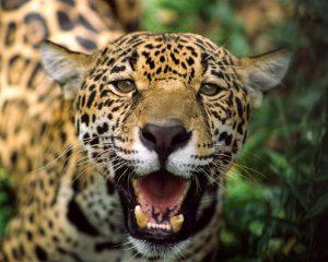 En China se llega a pagar dos mil quinientos dólares por un colmillo de jaguar. Foto: Richard Wareham.