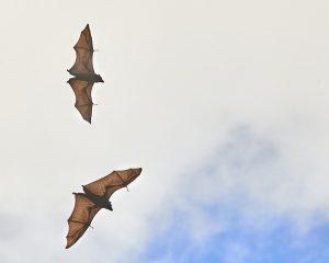 Los murciélagos son estigmatizados porque se los ha identificado con enfermedades transmisibles a los humanos y entonces las personas quieren eliminarlos. Foto: Peter Hudson.