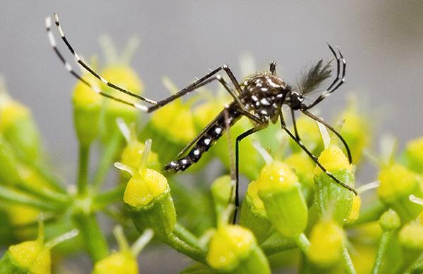 El Aedes aegypti tiene una gran capacidad de adaptación a las condiciones propias del lugar donde está viviendo.