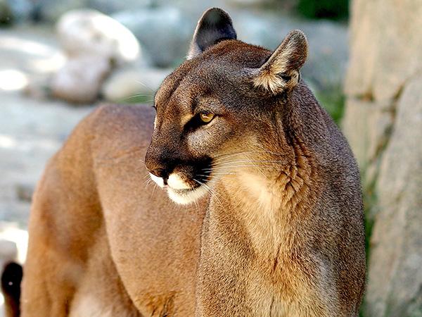 Se sabe que la fauna silvestre es susceptible al SARS-CoV-2 y que algunas especies lo son especialmente. Tal es el caso de los primates, los felinos y los murciélagos.