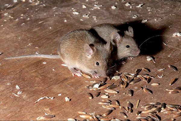 Hasta ahora, los esfuerzos dirigidos a controlar a estas plagas -mediante trampas y venenos- fueron infructuosos.