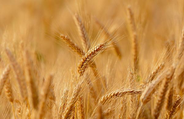 El trigo HB4® nació de una colaboración, encabezada por la investigadora Raquel Chan, entre el Instituto de Agrobiotecnología del Litoral y la empresa argentina Bioceres.
